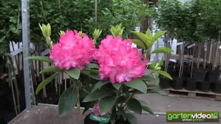 #1109 Rhododendron Hybride Passion