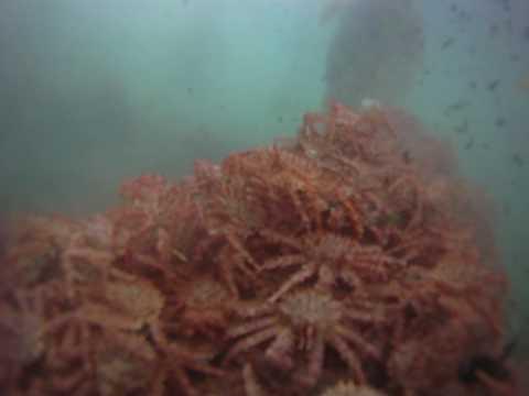 海底驚現上千隻帝王蟹 畫面讓網友驚呆 這畫面太珍貴