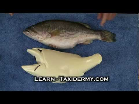 Taxidermy Classes – Bass and Fish Taxidermy Course