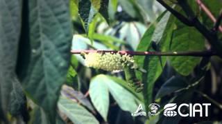 Cultivo de Yuca y sus huespedes (CIAT-CLAYUCA)