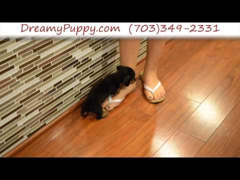 Very Cute Female Toy Dachshund Puppy 2