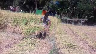Crop Cutting Festival of Transplanted Aman Rice...