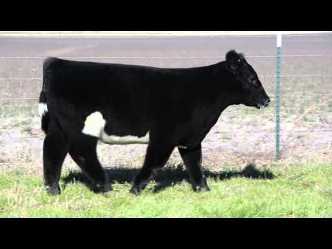 Choate Cattle Feb 2016 Tag 30
