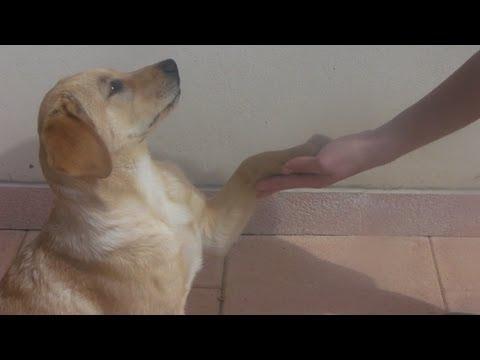 come insegnare a dare la zampa ai cuccioli