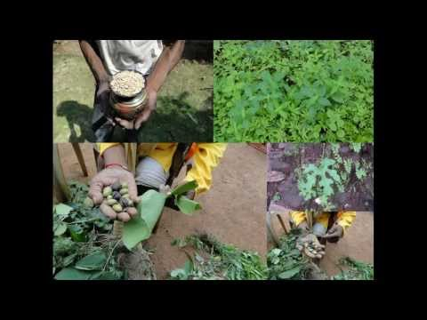 how to grow voacanga africana