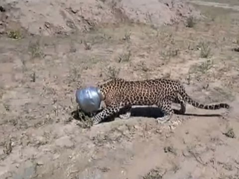 Thirsty Leopard Jams Head into Pot