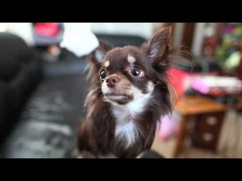 Cutest long-haired Chihuahua ever