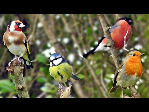 Beautiful Birds Chirping and Singing in The Hedge - Goldfinch, Bullfinch, Robin and More