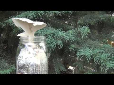 Video The Easisest Way to Grow Oyster Mushrooms! download in MP3, 3GP, MP4, WEBM, AVI, FLV January 2017