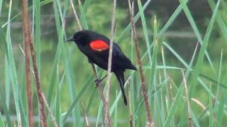 North American Wildlife --- Red-Winged Blackbird, territorial behavior