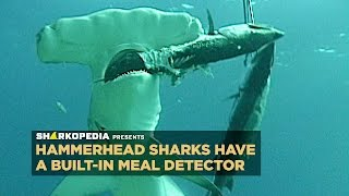SharkWeek  Starts Sun Jul 23 Dropped your phone in the water? A hammerhead shark could find it. Full Episodes Streaming FREE on Discovery GO: ...