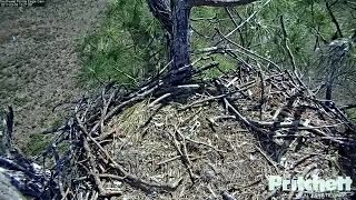 Eaglet E9 begins to perch on branches outside of nest