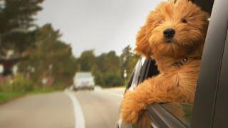 Aman Berlibur dengan Anjing Kesayangan