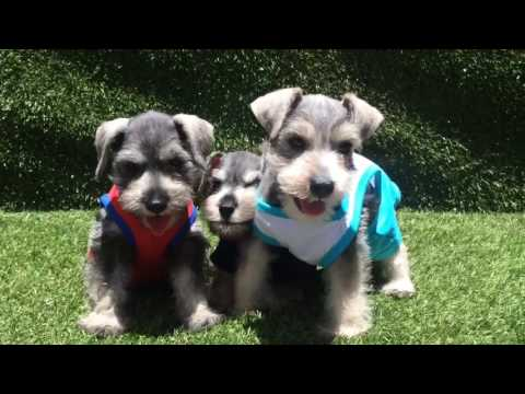 Male Mini Schnauzer Puppies