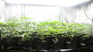 2019 outdoor grow in NorCal by Emerald Coast 420