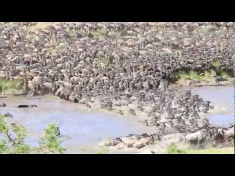 0 Migration Update:  Wildebeests Cross Mara River Early