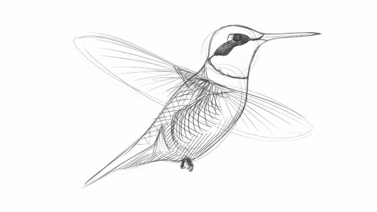 Drawing a Ruby-throated Hummingbird with David Allen Sibley