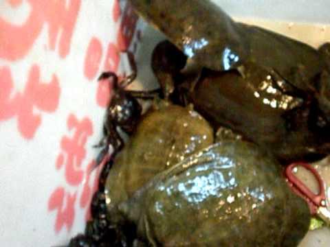 好兇的野鱉毛蟹...過程讓人傻眼