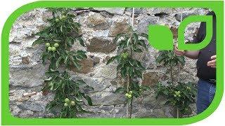Die Säulenapfelbäume an einer Mauer gepflanzt