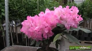 #1110 Rhododendron Hybride Caruso