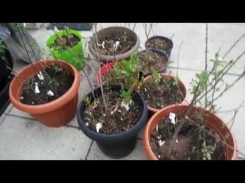 Growing mail order fruit trees. Haskap/Honeyberry, Sea Buckthorn, Saskatoon Berry and more