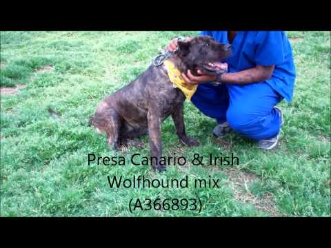 4 YR OLD FEMALE PRESA CANARIO & IRISH WOLFHOUND MIX (A366893) (видео)