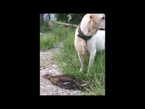 Duck Plays Dead And Bamboozles Dog