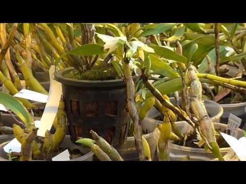 Orchideen Arten: Dendrobium scabrilingue