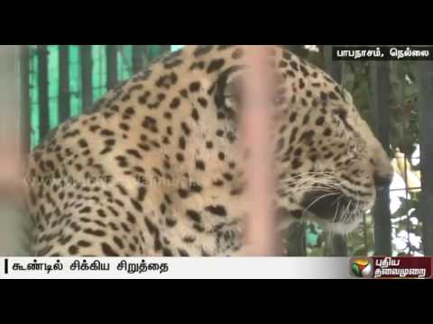 Leopard-which-had-been-scaring-residents-killed-a-number-of-dogs-has-been-captured-in-Tirunelveli