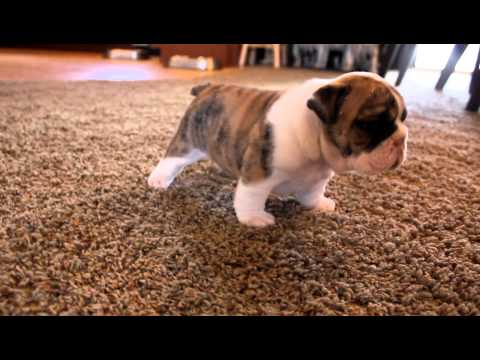 Puppies Youtubefunny on English Bulldog Puppies Are So Adorable  Share On Your Facebook Wall