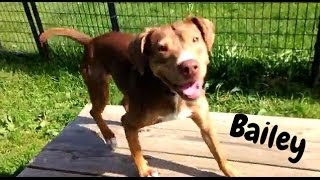 Bailey - American Staffordshire Terrier / Beagle / Mixed (short coat) Dog For Adoption