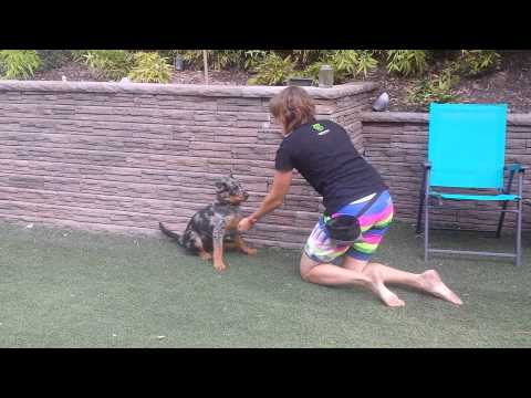 Beauceron Puppy Training