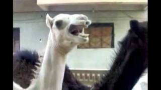 This Camel Does an Impressive Peter Griffin Impersonation