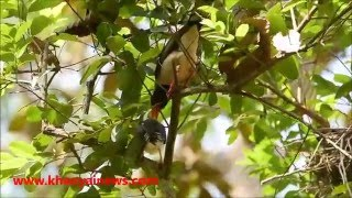 blue magpie chicks leaving their nest