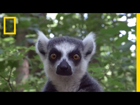 Raising Cute Baby Lemurs to Save a Species | National Geographic