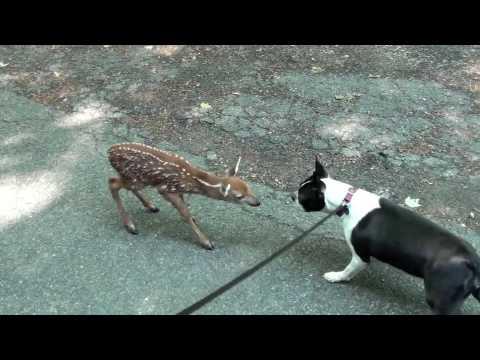 primo incontro tra un cerbiatto ed un cane: nascerà una bella amicizia!