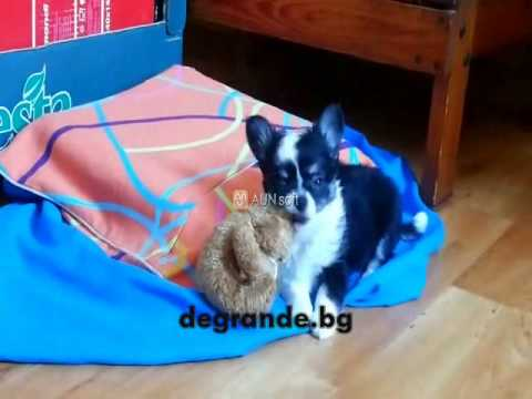 Cute male long hair Chihuahua for sell/black and white/