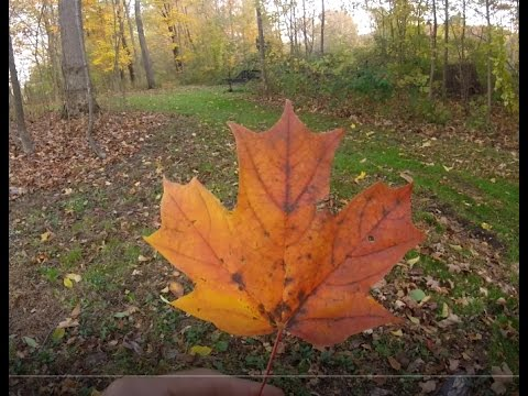 How to tell a sugar, silver and red maple leaf apart from one another