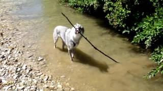 Czechoslovakian wolfdog Veni   enjoys in the water