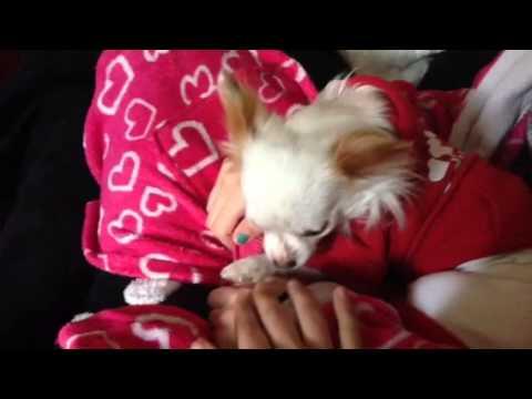 Cute chihuahua crying