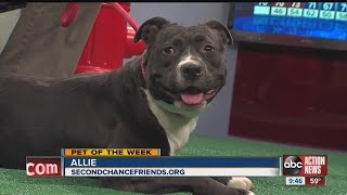 Allie - American Staffordshire Terrier / Mixed Dog For Adoption