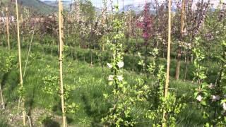 #618 Weiterzüchtung der Maloni Miniäpfel