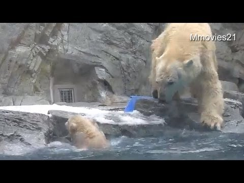 遊客看著還不會游泳的小北極熊跌進水中時都驚叫,然後眨眼就看到一個迅速的身影出現!