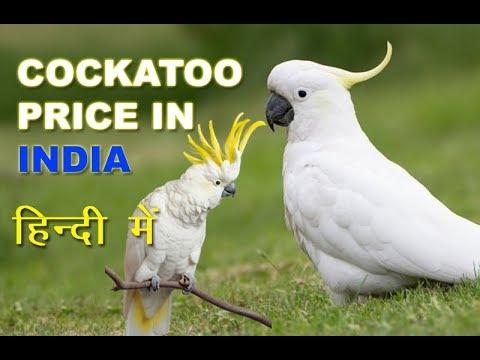 Cockatoos Sale in Dehradun   Cockatoo Price in India   Cockatoo Bird information