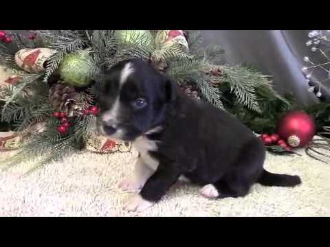 Meet Biscuit a purebred Border Collie puppy