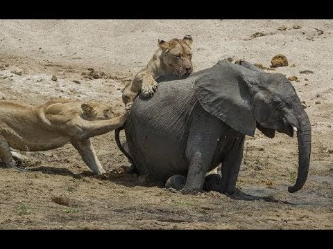 Lions attack elephant - Herd of elephants rescues a baby elephant