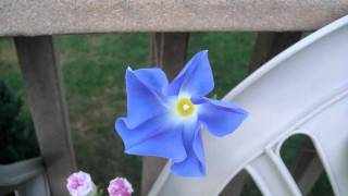 Morning Glory Bloom (Time Lapse)