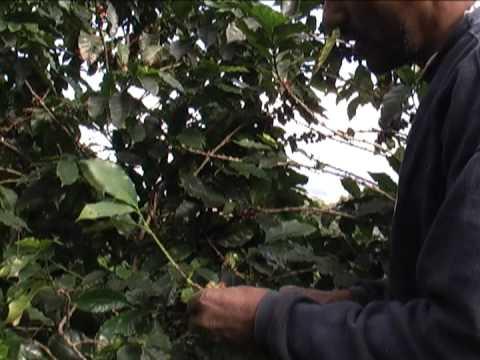 Qualidade e Caminhos do café em Araponga e em São Miguel do Anta