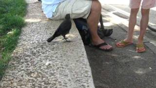 A Very Smart Bird - Thirsty Crow Comes To Humans For Help