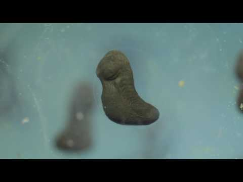 Tadpole Development Time Lapse